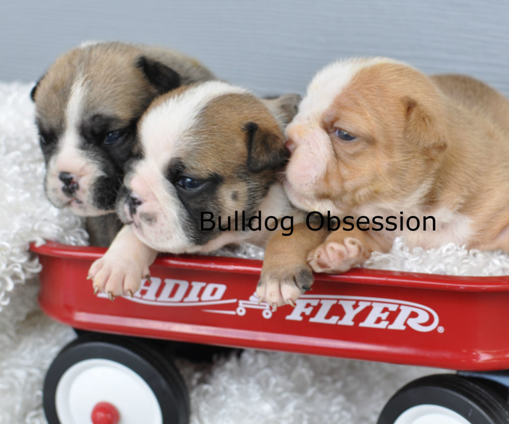 English Bulldogs with snub nose, wrinkly, and great quality