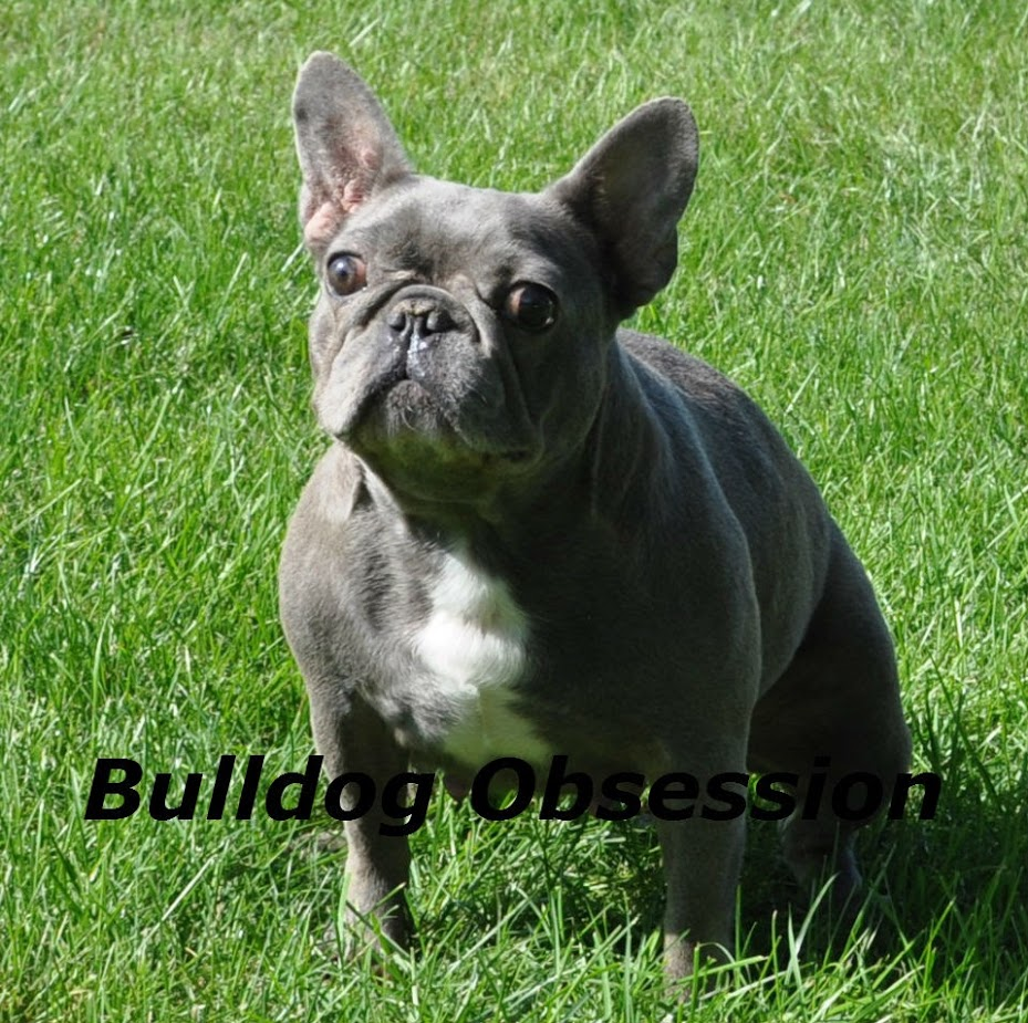 A picture of one of our French Bulldog mother's, Admiral.