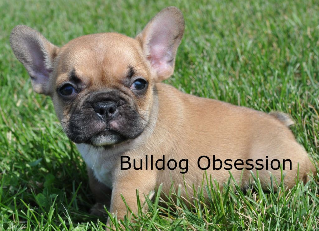 Standard French Bulldogs with snub nose, compact, extremely loving