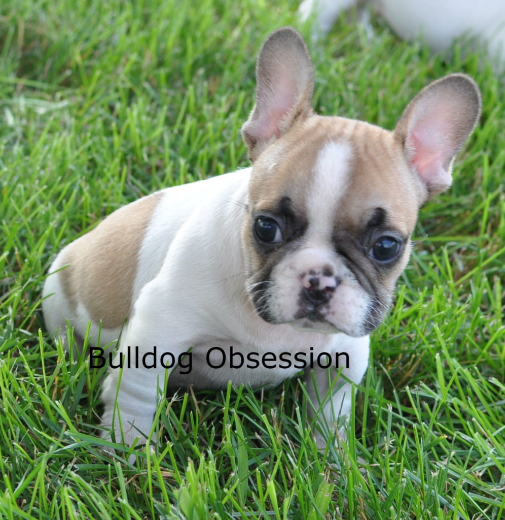 A picture of a Jasper, one of Bulldog Obsession's Standard French Bulldogs