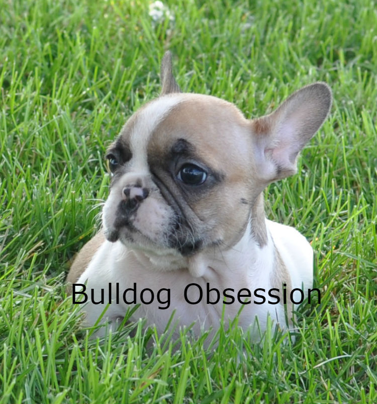 Jasper came from Moira and Nugget's litter of  French Bulldogs