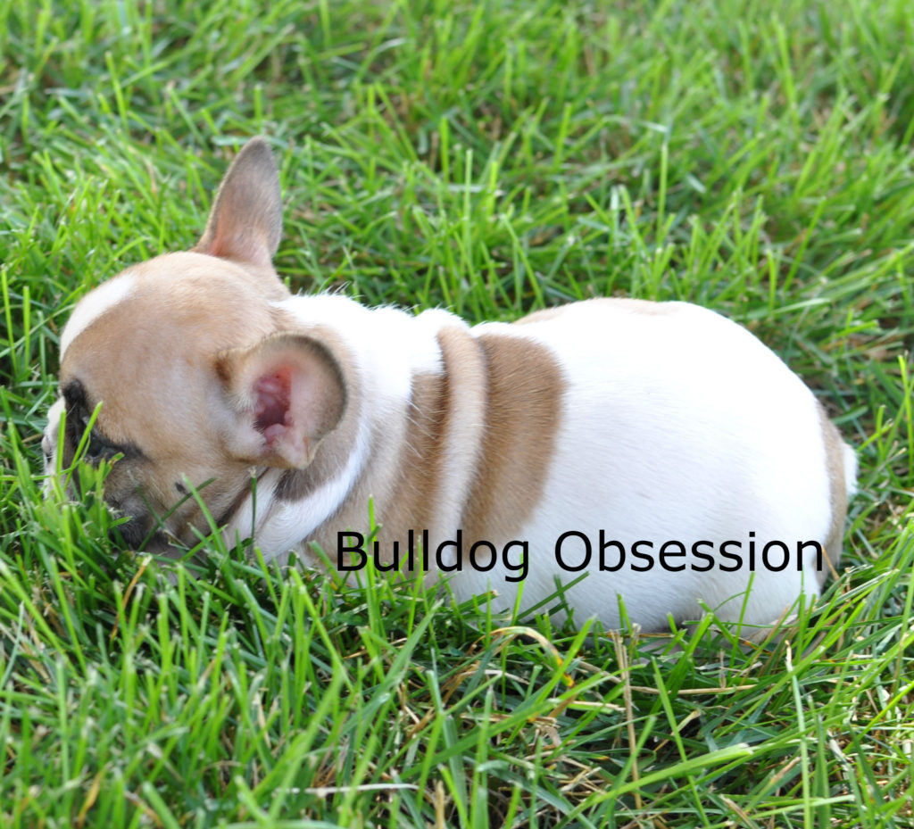 Jasper is an  French Bulldog that should have snub nose, compact, extremely loving