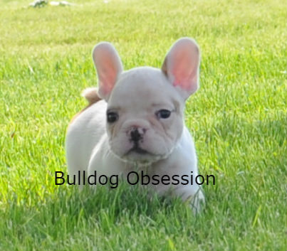 Adorable Standard French Bulldogs