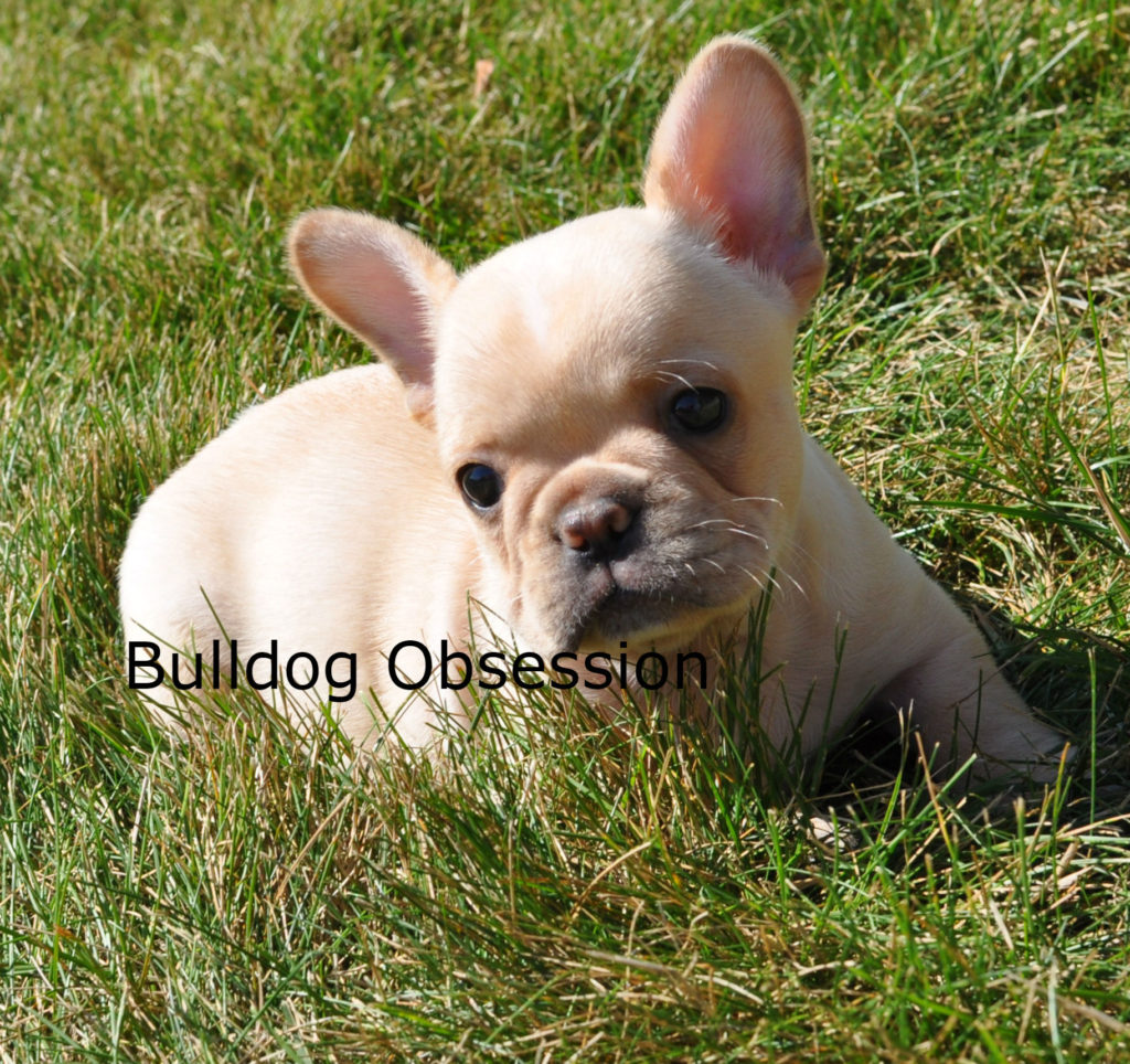 A picture of a Bandit, one of Bulldog Obsession's  French Bulldogs