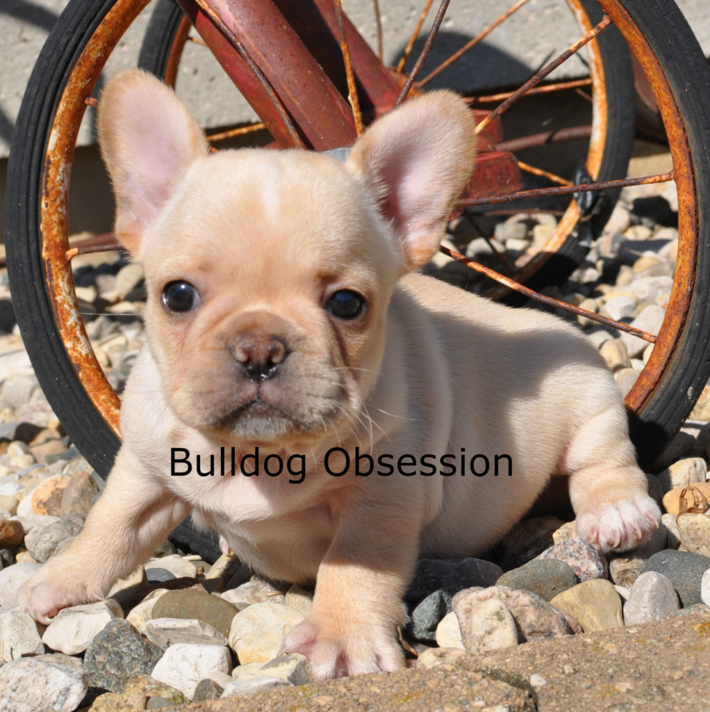 Bandit came from Buttercup and Nugget's litter of  French Bulldogs