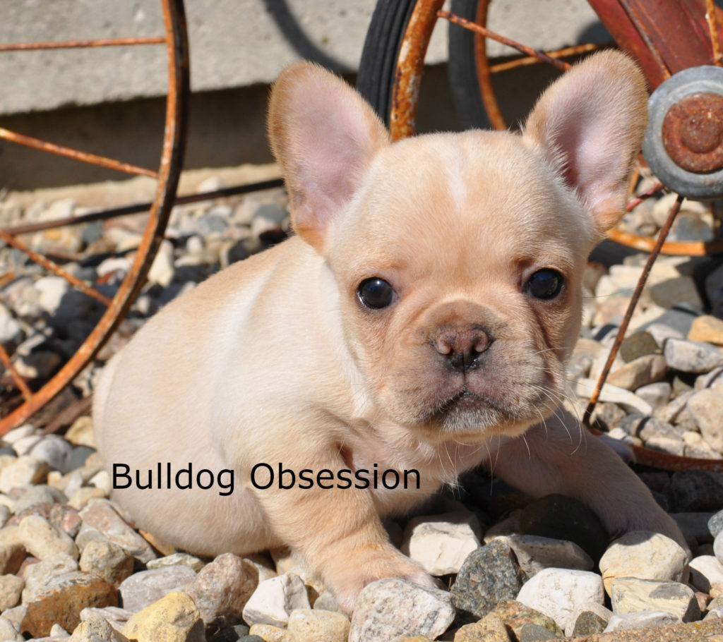 Bandit is an  French Bulldog that should have short and compact