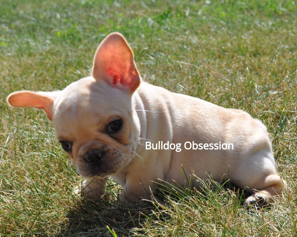 Billy is an  French Bulldog that should have short and compact