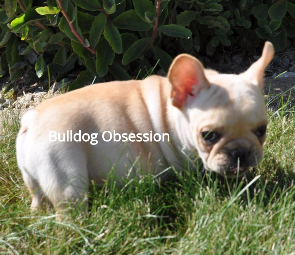 Billy came from Buttercup and Nugget's litter of  French Bulldogs