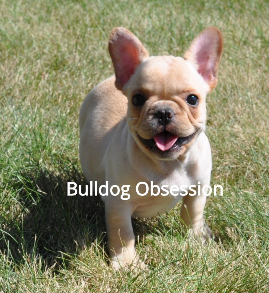 A picture of a Boots, one of Bulldog Obsession's  French Bulldogs