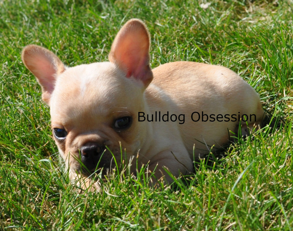 Boots is an  French Bulldog that should have short and compact