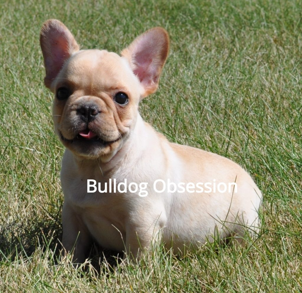 Boots came from Buttercup and Nugget's litter of  French Bulldogs