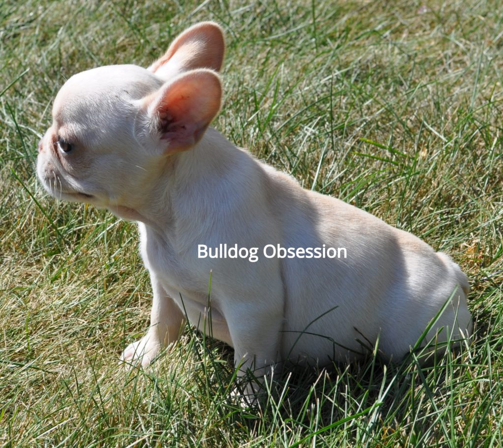Bridget is an  French Bulldog that should have short and compact