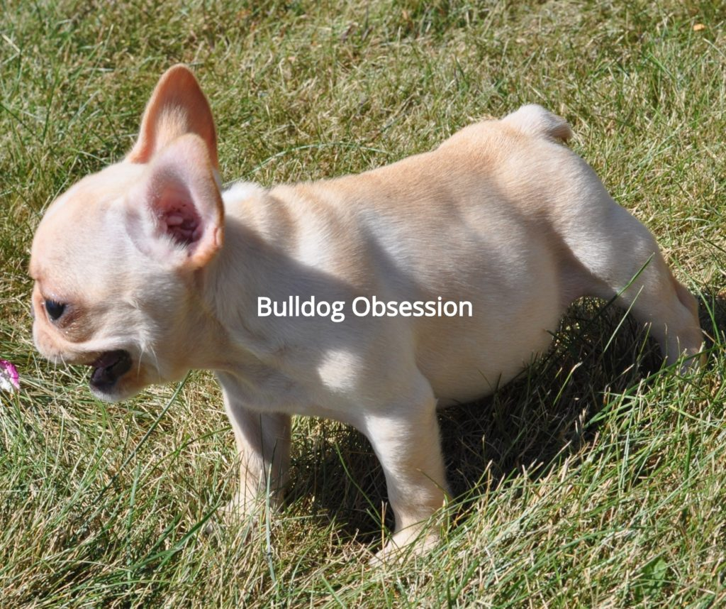 Brooke came from Buttercup and Nugget's litter of  French Bulldogs