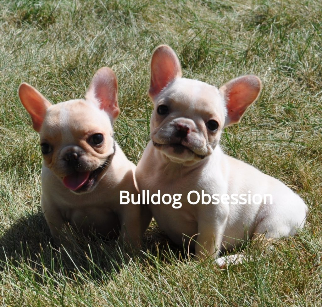 Brooke is an  French Bulldog that should have short and compact