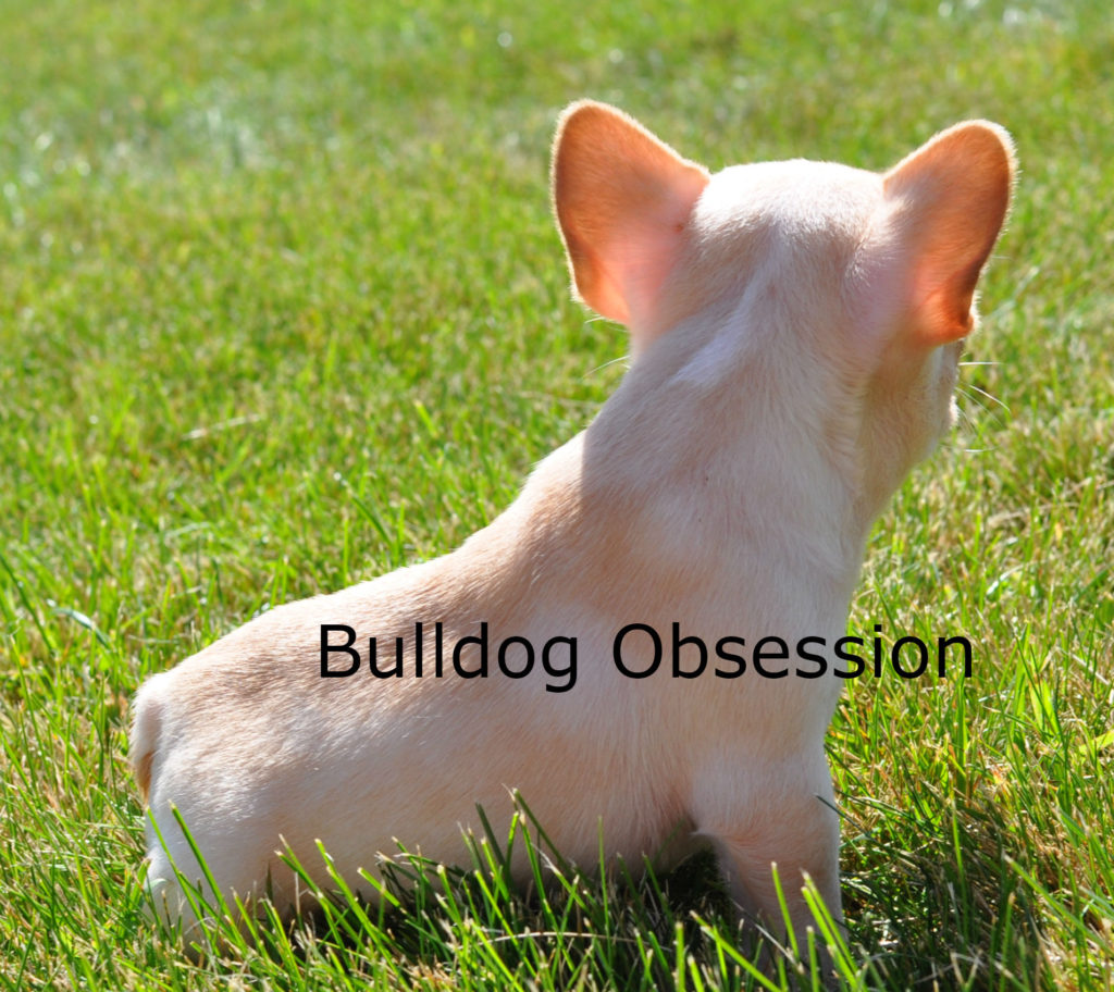 A picture of a Brooke, one of Bulldog Obsession's  French Bulldogs