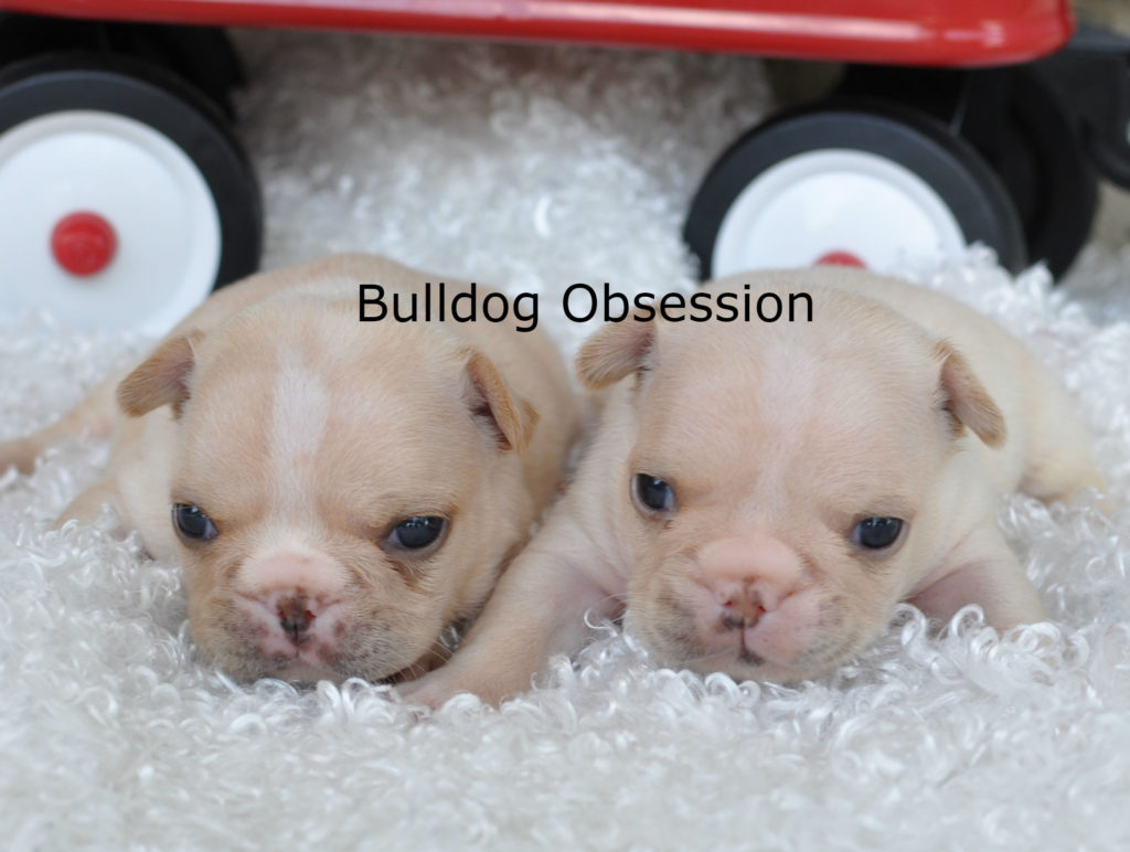 French Bulldogs with short and compact
