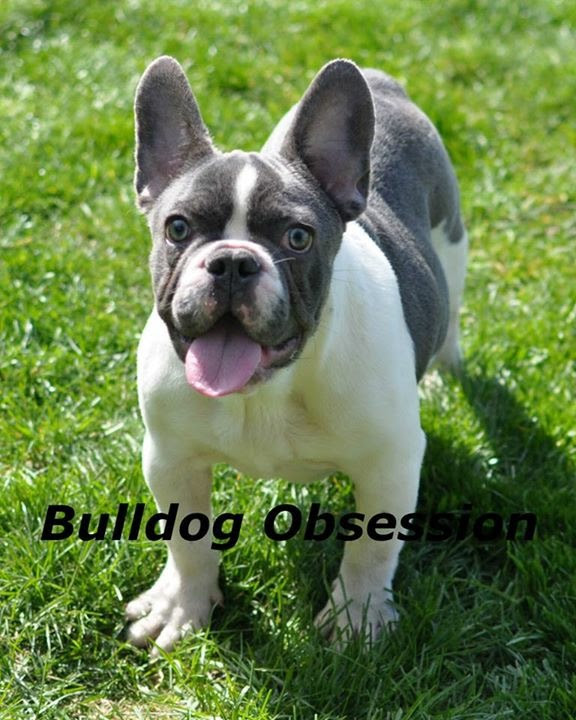A picture of one of our French Bulldog mother's, Karmelita.