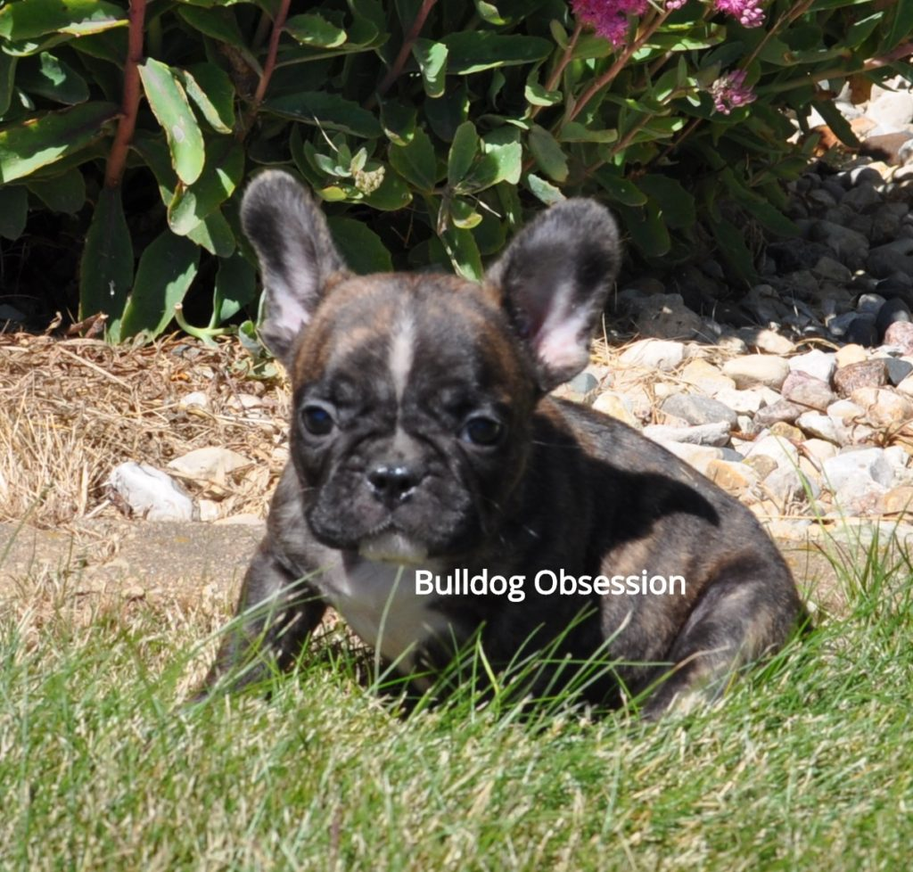 A picture of a group of  French Bulldogs bred in Iowa