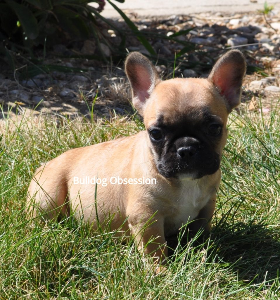 French Bulldogs with short, compact