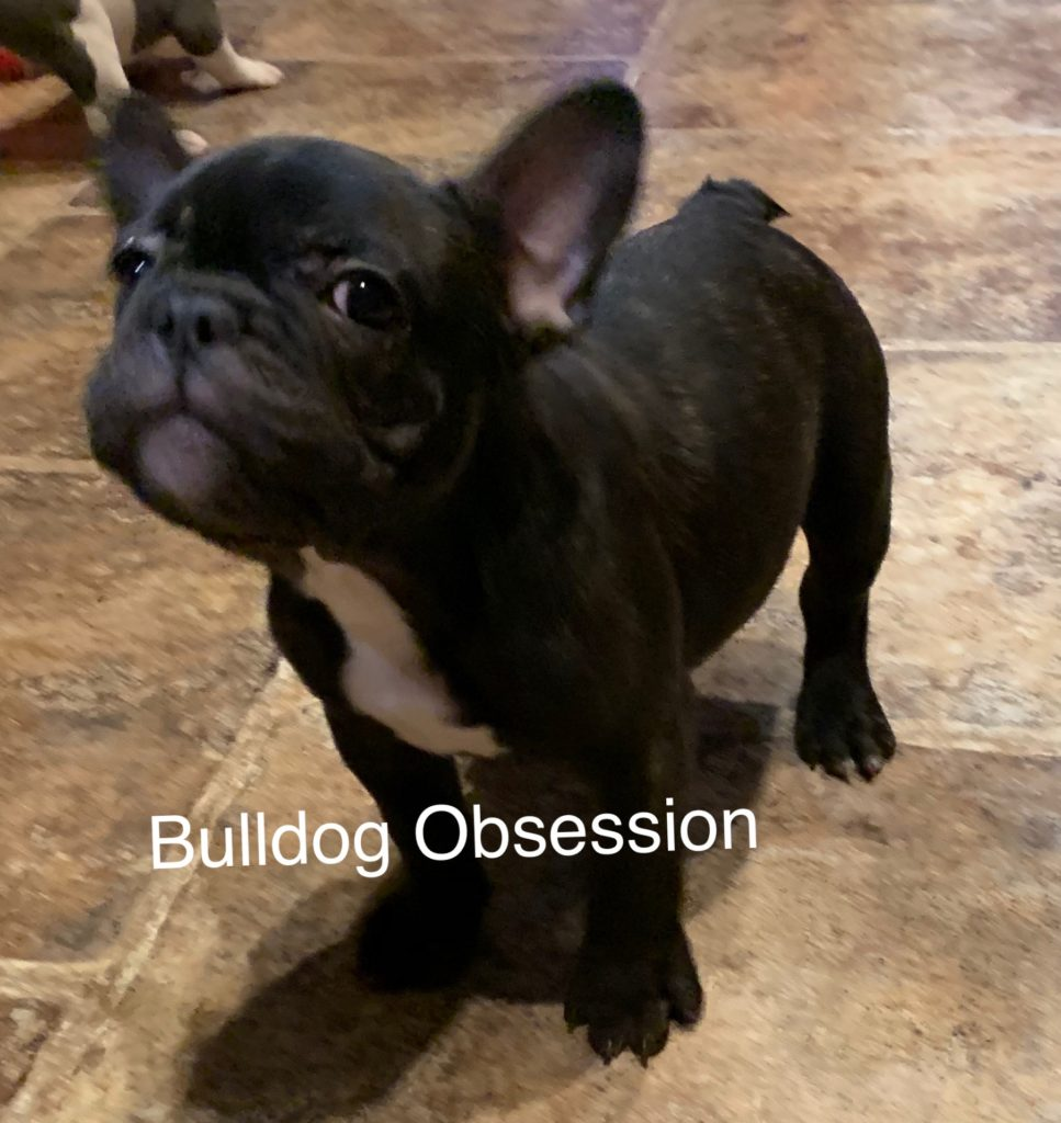 A picture of a Baloo, one of Bulldog Obsession's  French Bulldogs