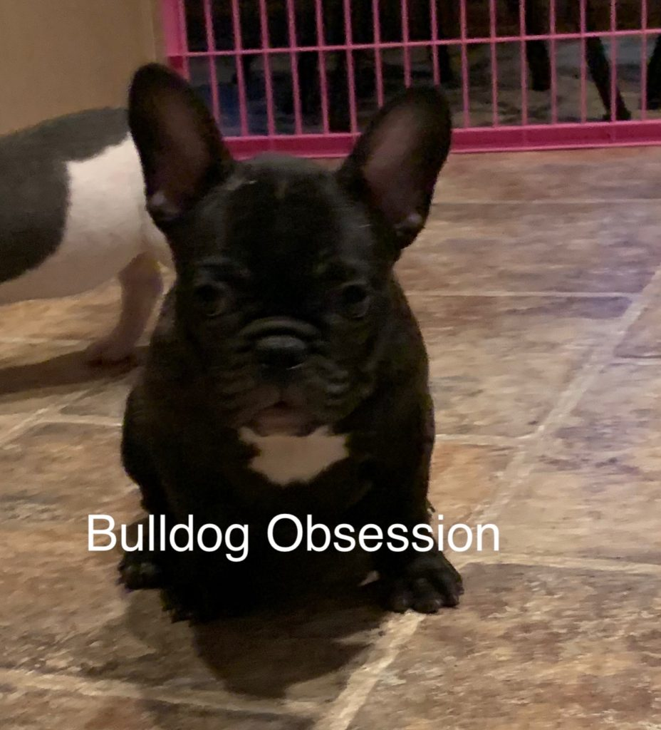 Baloo is an  French Bulldog that should have Short Stocky