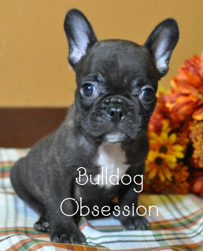 Baloo came from Bresha and Kanye's litter of  French Bulldogs