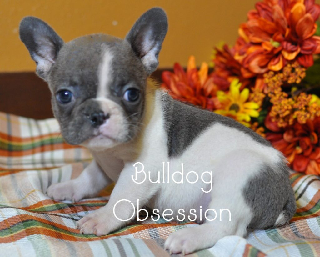 French Bulldogs with Short Stocky