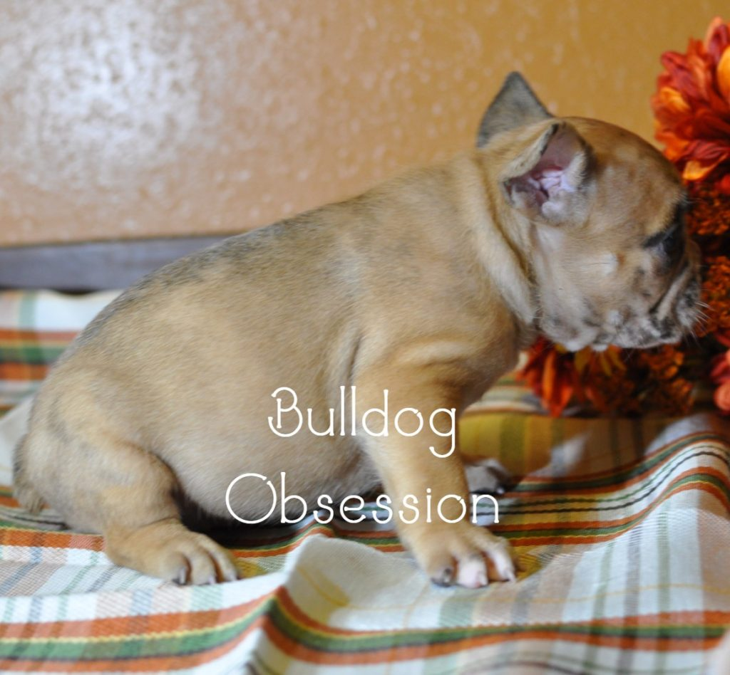 A picture of a Brutus, one of Bulldog Obsession's  French Bulldogs