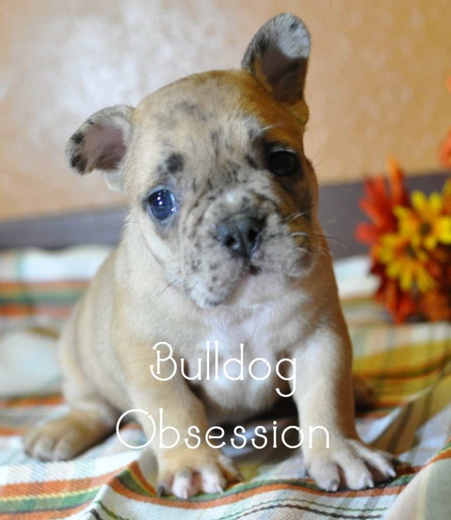 Brutus came from Bresha and Kanye's litter of  French Bulldogs