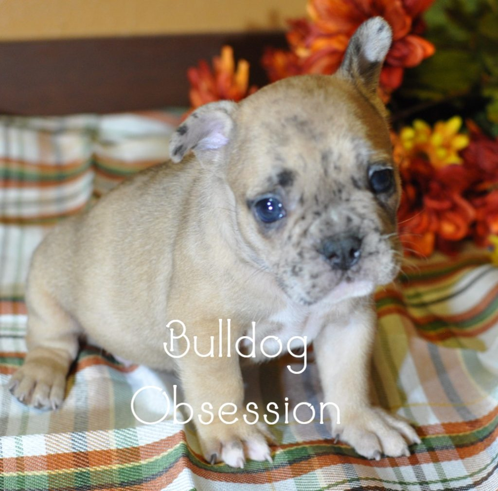 Brutus is an  French Bulldog that should have Short Stocky