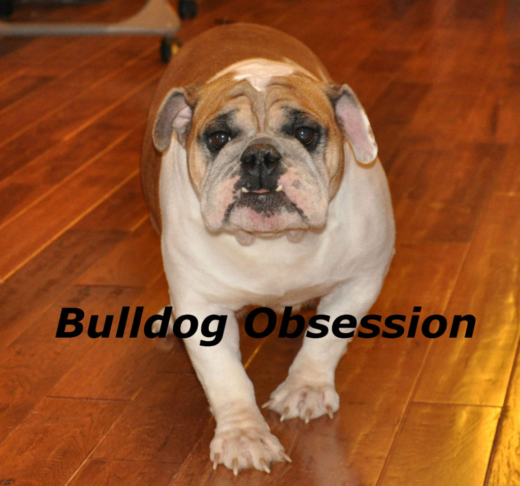 A picture of one of our English Bulldog mother's, Jayda.