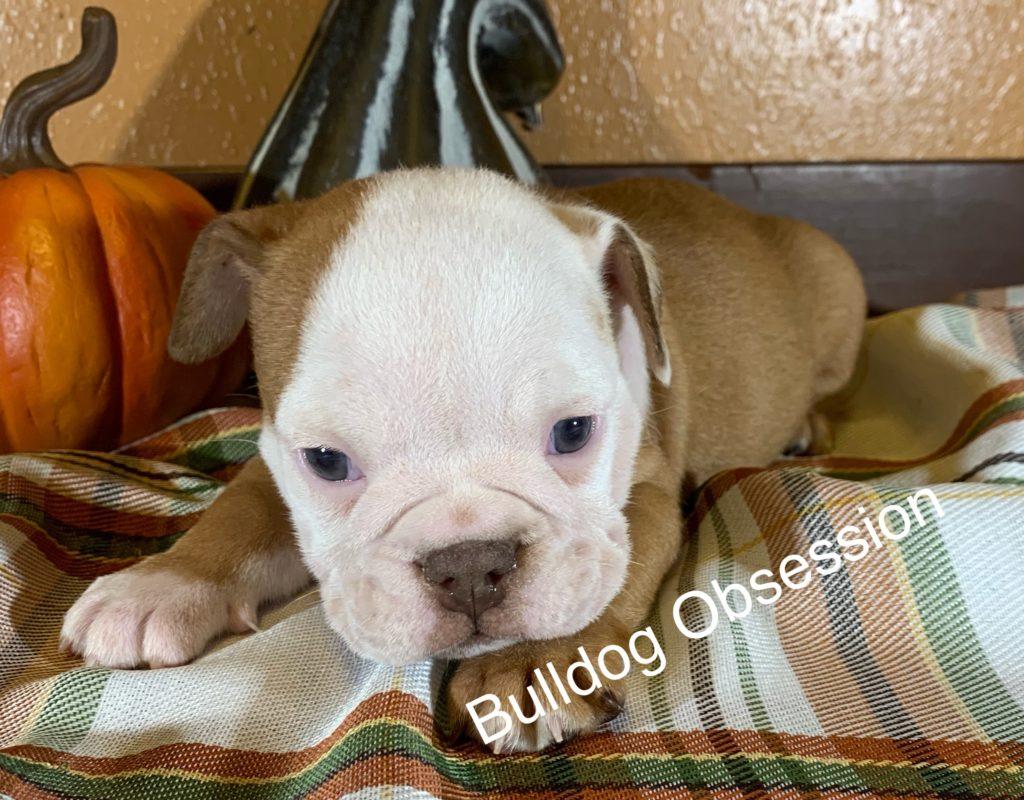 English Bulldogs bred by Bulldog Obsession in Iowa