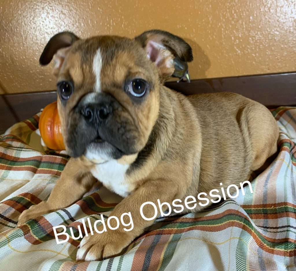 A picture of a Tally, one of Bulldog Obsession's  English Bulldogs