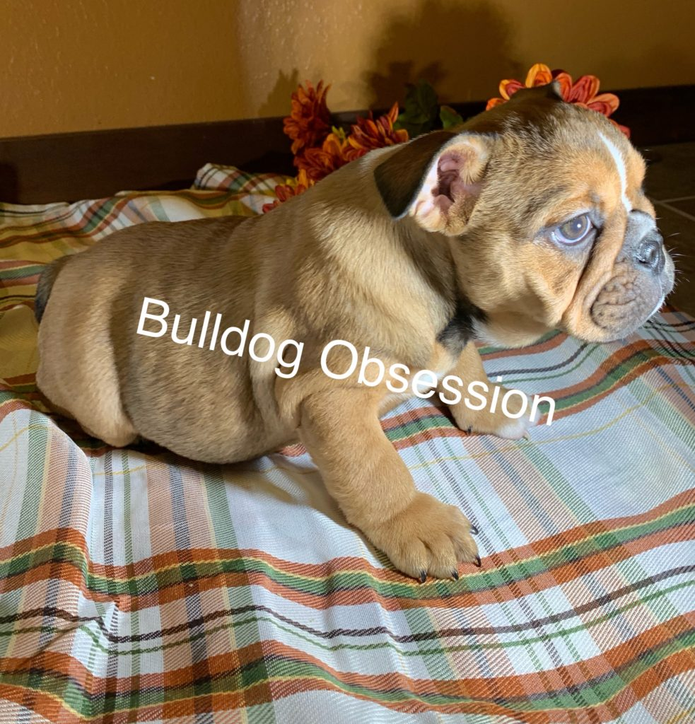 Tally is an  English Bulldog that should have Short compact with a double rope on the nose