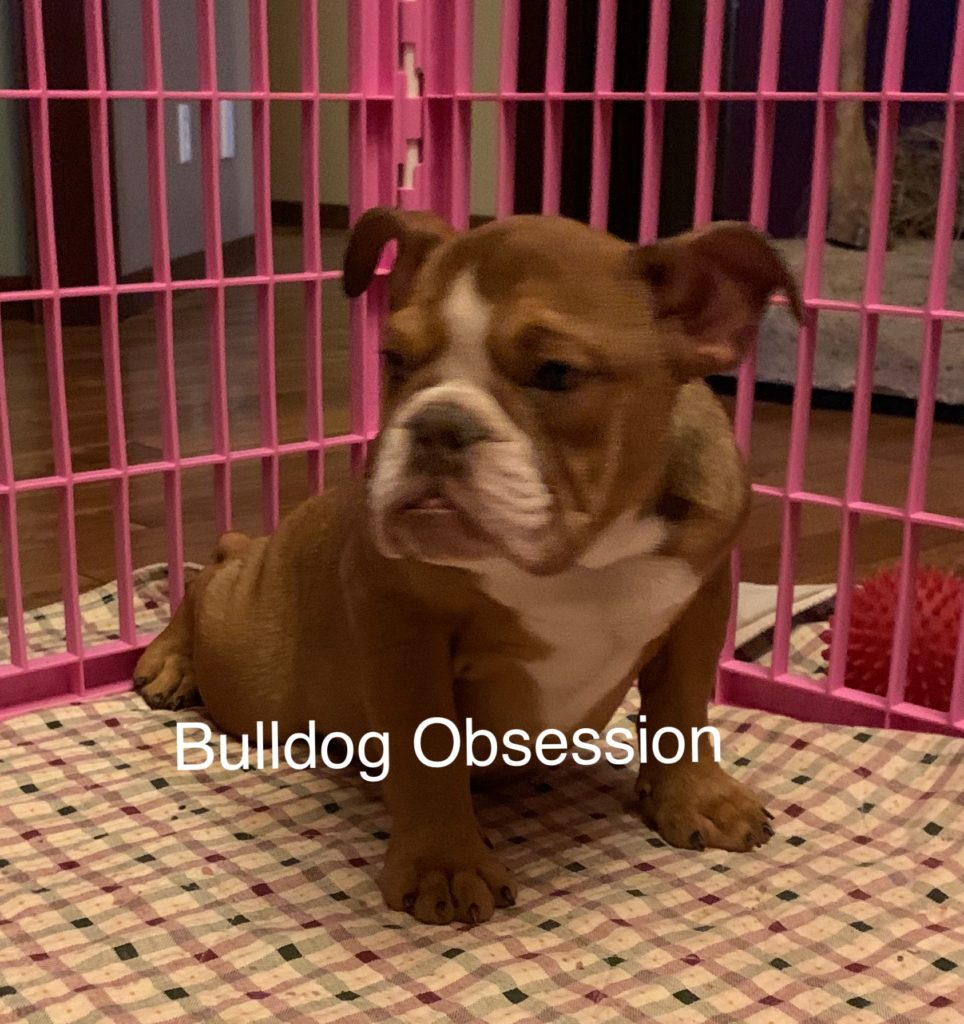 Tasia came from Jayda and Rockie's litter of  English Bulldogs