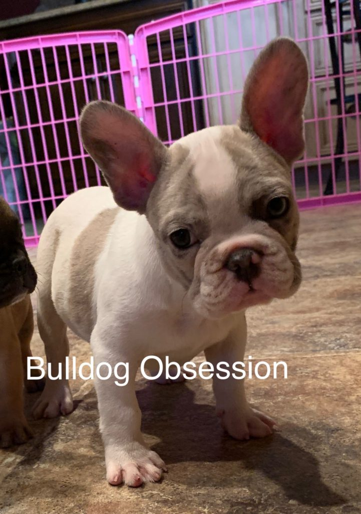 A picture of a Meeko, one of Bulldog Obsession's Standard French Bulldogs