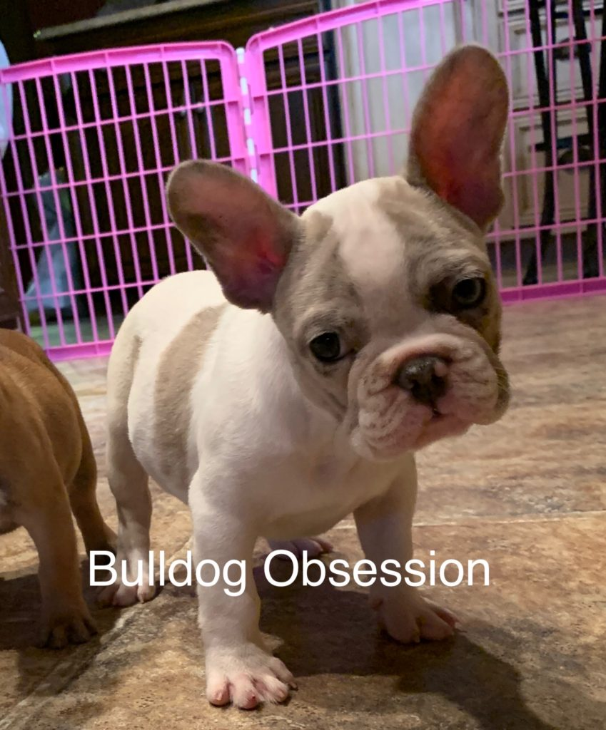Meeko is an  French Bulldog that should have Nice and Compact.