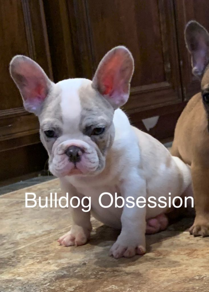 Meeko came from Minna and Marshall's litter of  French Bulldogs