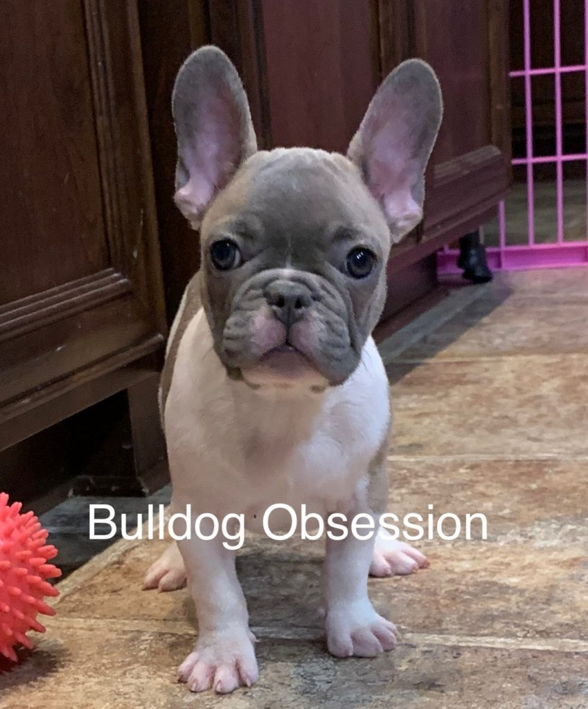 Milton came from Minna and Marshall's litter of  French Bulldogs