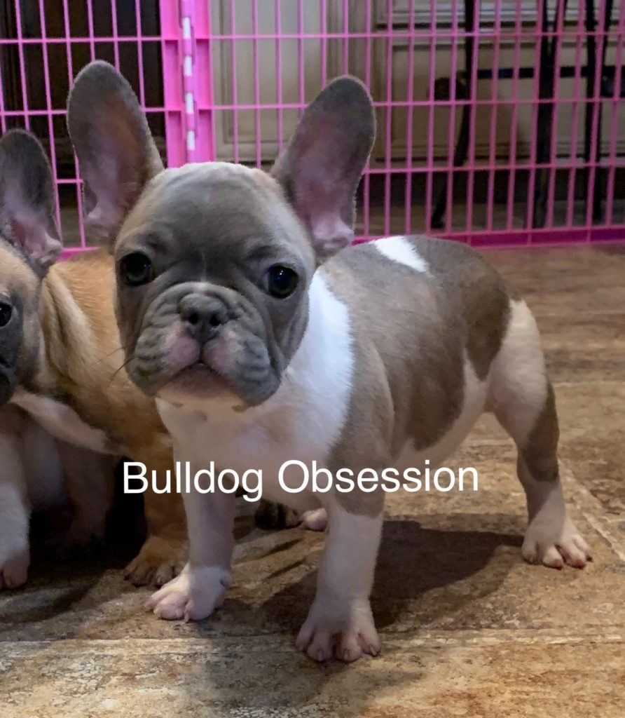 Milton is an  French Bulldog that should have Nice and Compact.