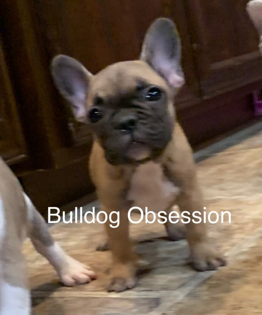 A picture of a Missy, one of Bulldog Obsession's Standard French Bulldogs