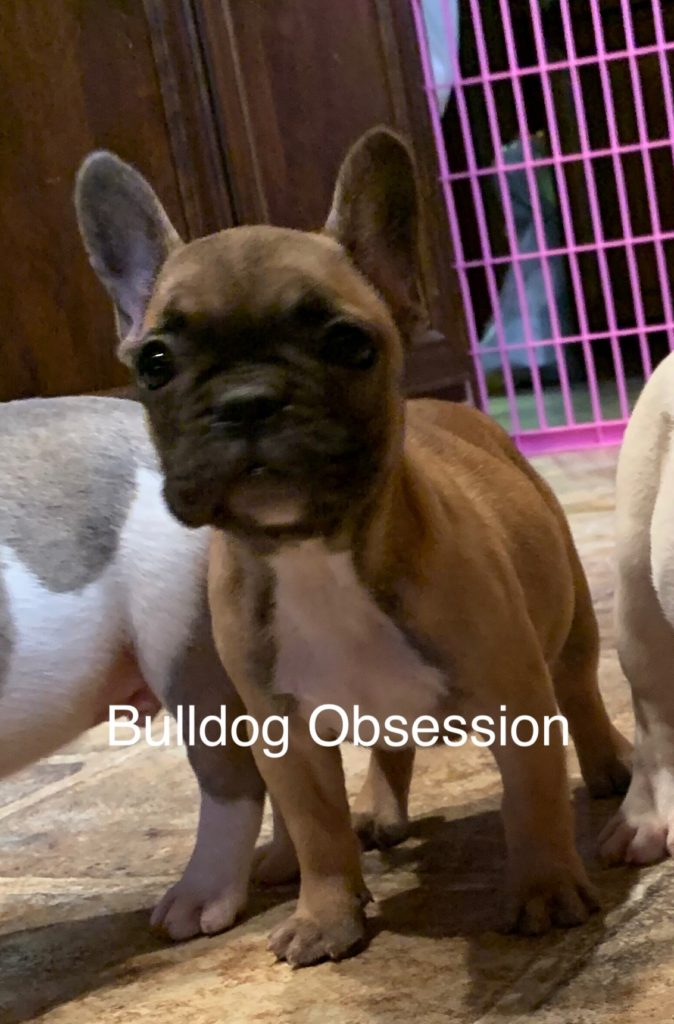 Missy came from Minna and Marshall's litter of  French Bulldogs