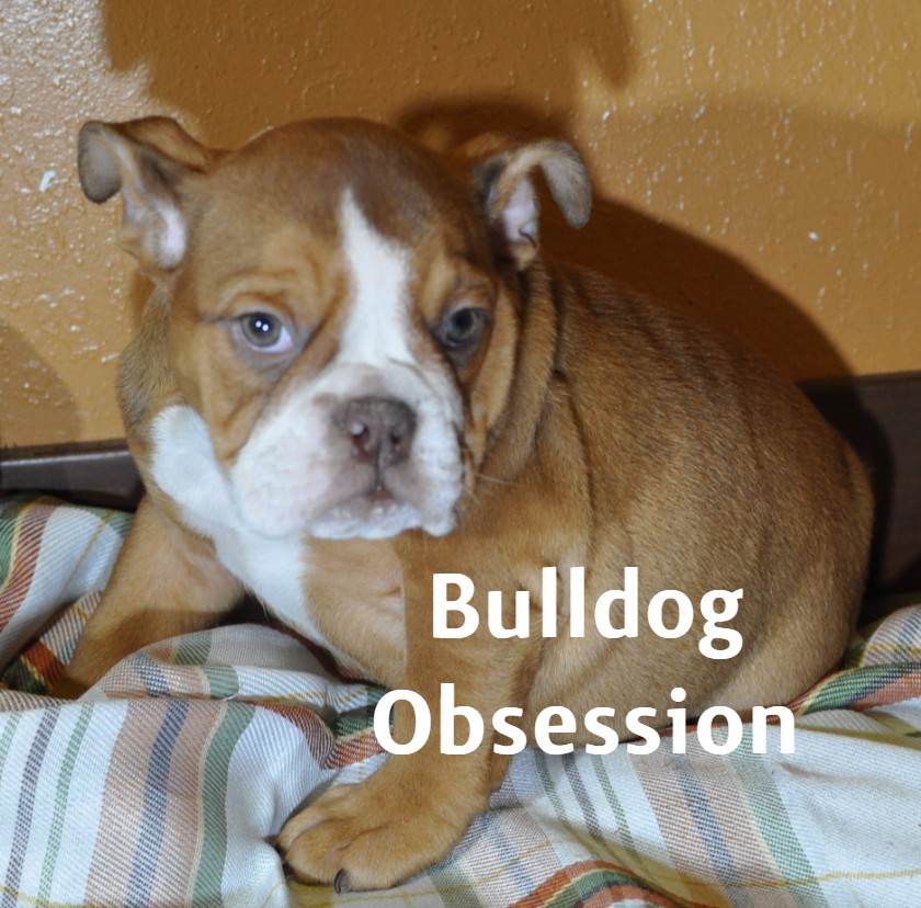 A picture of a Tasia, one of Bulldog Obsession's  English Bulldogs