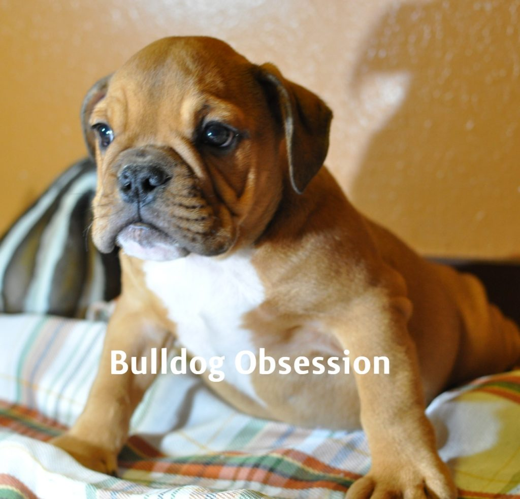 Tyron came from Jayda and Rockie's litter of  English Bulldogs