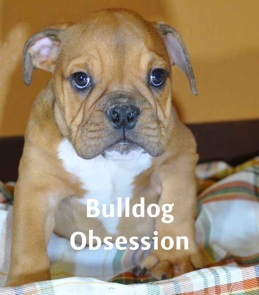 Tyron is an  English Bulldog that should have Short compact with a double rope on the nose