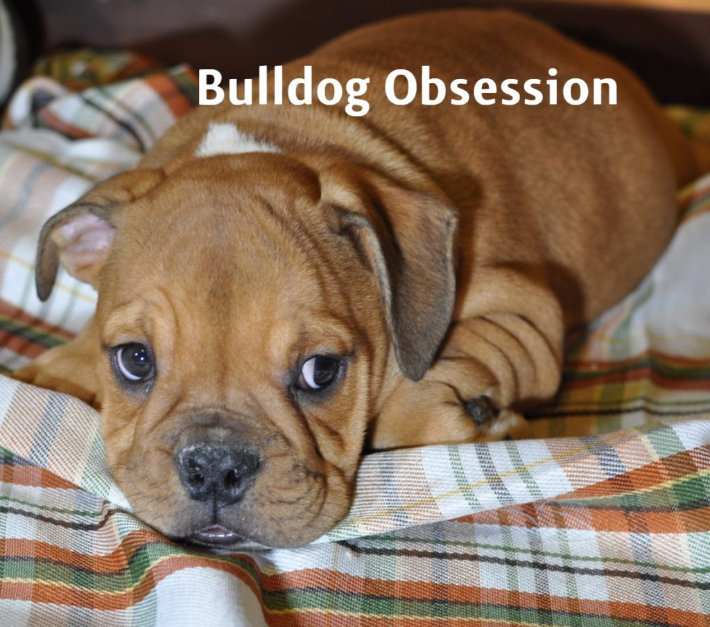 A picture of a Tyron, one of Bulldog Obsession's  English Bulldogs
