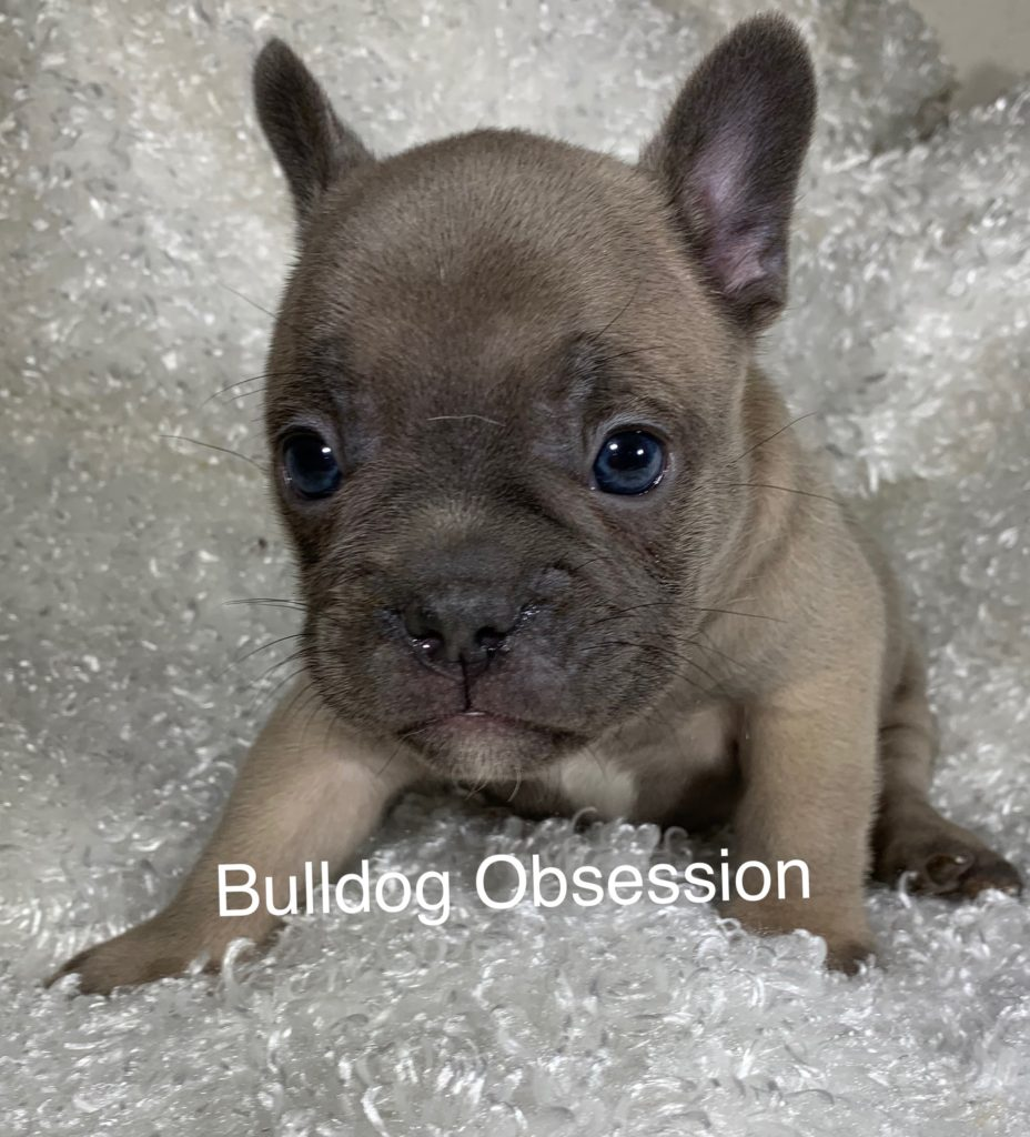Scout came from Saphire and Marshall's litter of  French Bulldogs