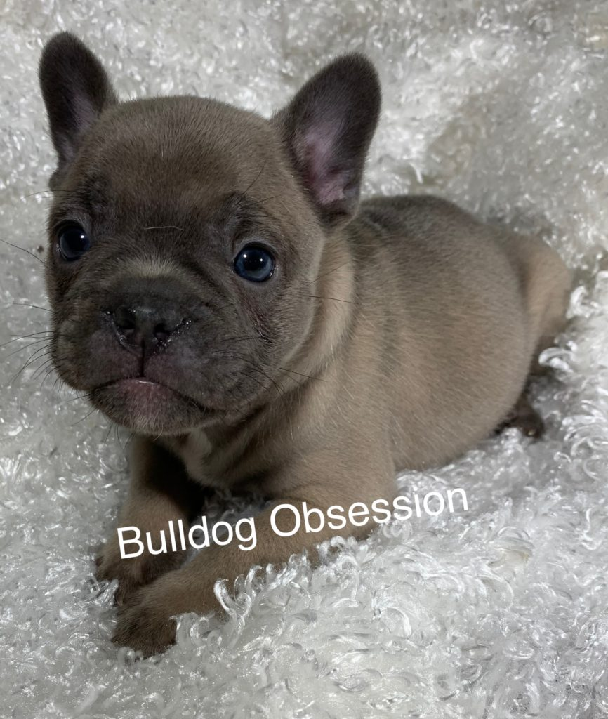 Scout is an  French Bulldog that should have Nice and Compact.