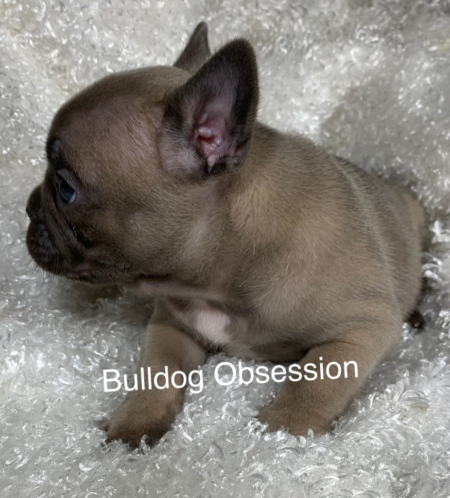 A picture of a Scout, one of Bulldog Obsession's Standard French Bulldogs