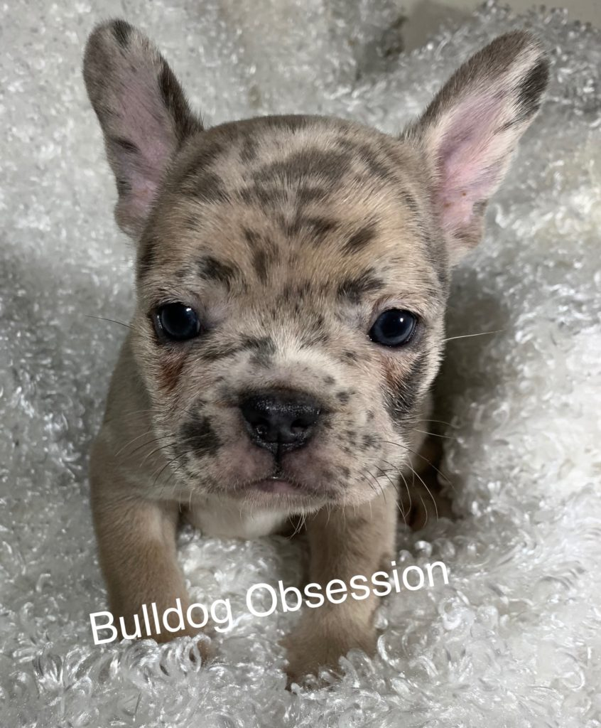Simba is an  French Bulldog that should have Nice and Compact.